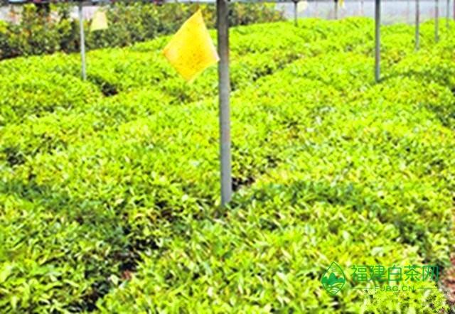 茶园里那些黄色的纸旗是什么鬼?茶叶的种植应该怎么去管理?