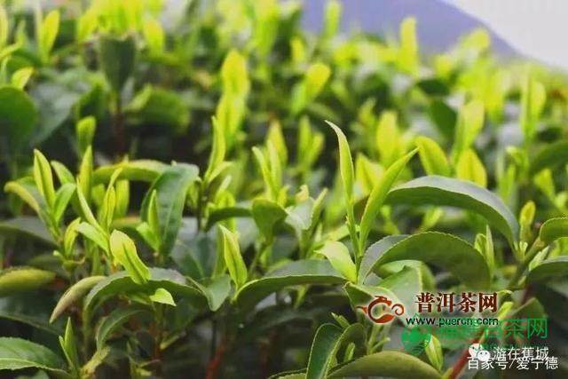 """庄严村:小茶叶有""""大作为"""""""