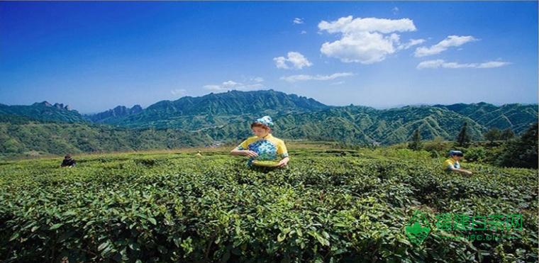 武陵源头茶业加盟信息