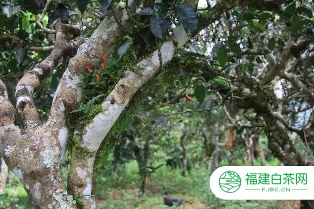 2020六大茶山将迎难而上 推动普洱茶行业发展