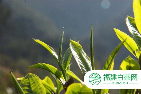 白毫银针原产地在哪_白毫银针属于什么茶类,白毫银针属于白茶类 | 福建白茶网