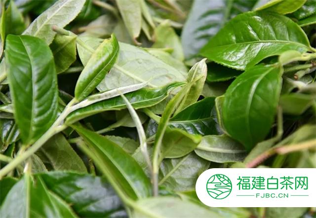 彩农茶:春茶为什么是一年中最好的茶?
