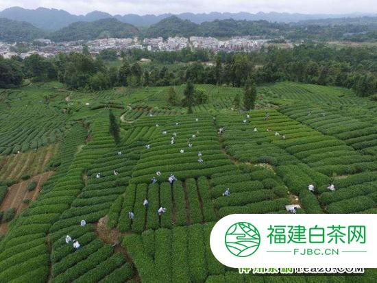 """茶飘蓉城 全网寻找最老""""贡茶饼"""""""