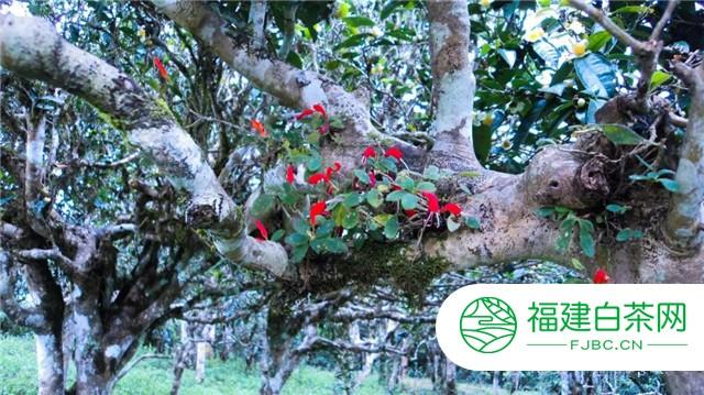 六大茶山:贺开古茶山绝美自然微景观艺术,大自然的神奇造物
