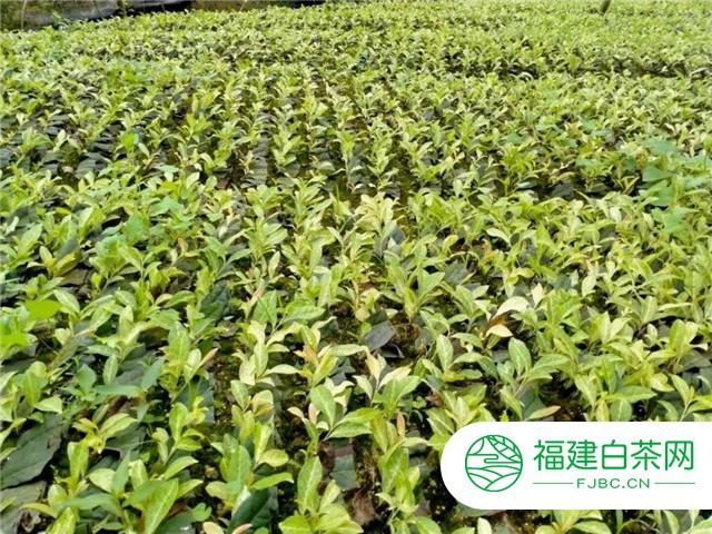 名山区茅河镇香水村:茶苗产业能富民 科学发展拓新路