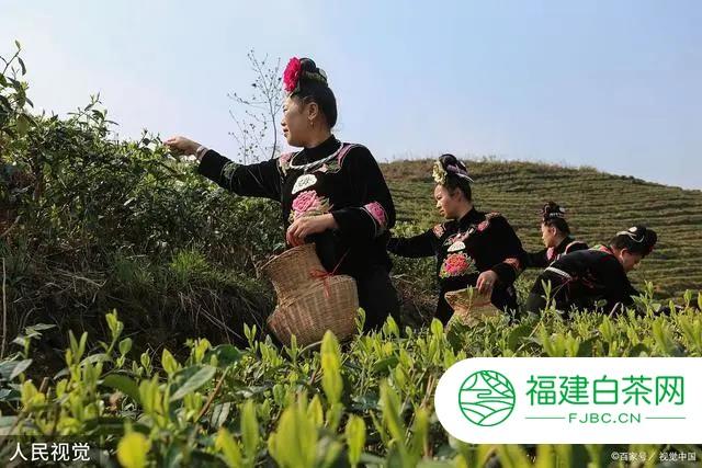 """福鼎市点头镇:打造茶叶""""金名片"""""""