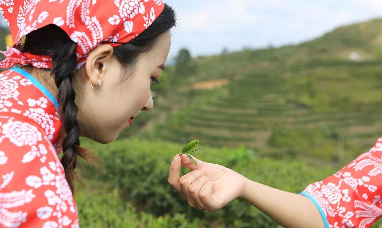 """河源""""紫金蝉茶""""被小绿叶蝉咬过的茶——独具特色!"""