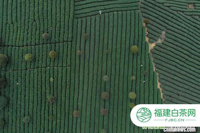 贵州遵义:茶酒文化旅游引众多游客青睐