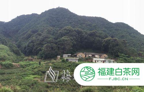 丰顺县丰良镇九龙村:脚踏红土地 耕耘致富茶