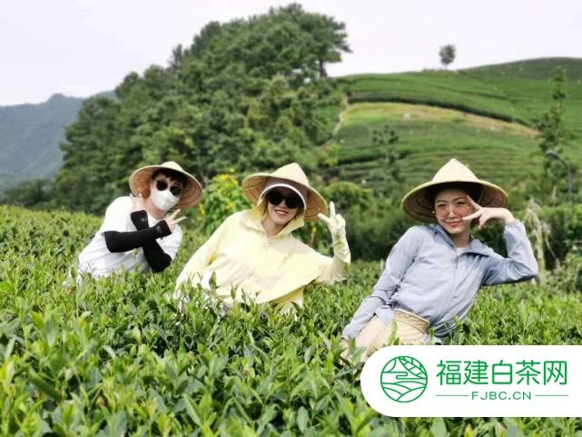 130年前的古董茶才1斤6两 引香港商人130万元收购 专家调研这种茶