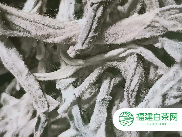 什么?熟茶发酵翻堆过程中也会有白霜?