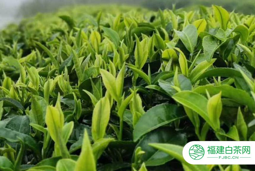 白茶的功效及其主要禁忌