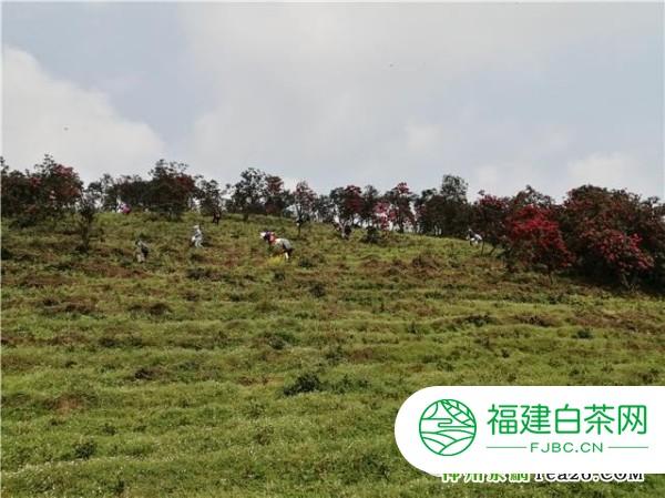 百里杜鹃:万亩荒山变茶山成群众致富靠山