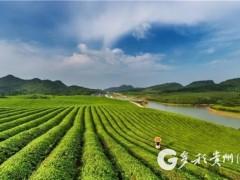 """贵州印江:深挖茶叶剩余价值 让夏秋茶不再""""老死枝头"""""""