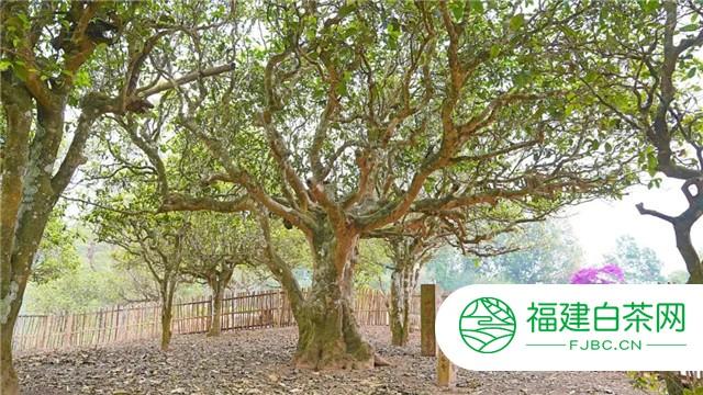 六大茶山贺开庄园:初秋,比美第一名的纯净之地在这里