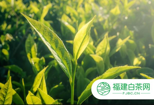 白茶加工工艺流程你了解吗