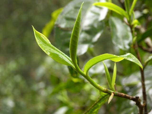 茶叶冷知识:世界上有专门的绿茶树、红茶树、白茶树吗?